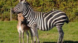 Ζonkey: Γεννήθηκε το μωρό μιας ζέβρας και ενός γαϊδάρου - Σπάνιες εικόνες