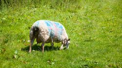 Züchter erwischt Mann bei Sex mit Schaf – Tier muss notgeschlachtet