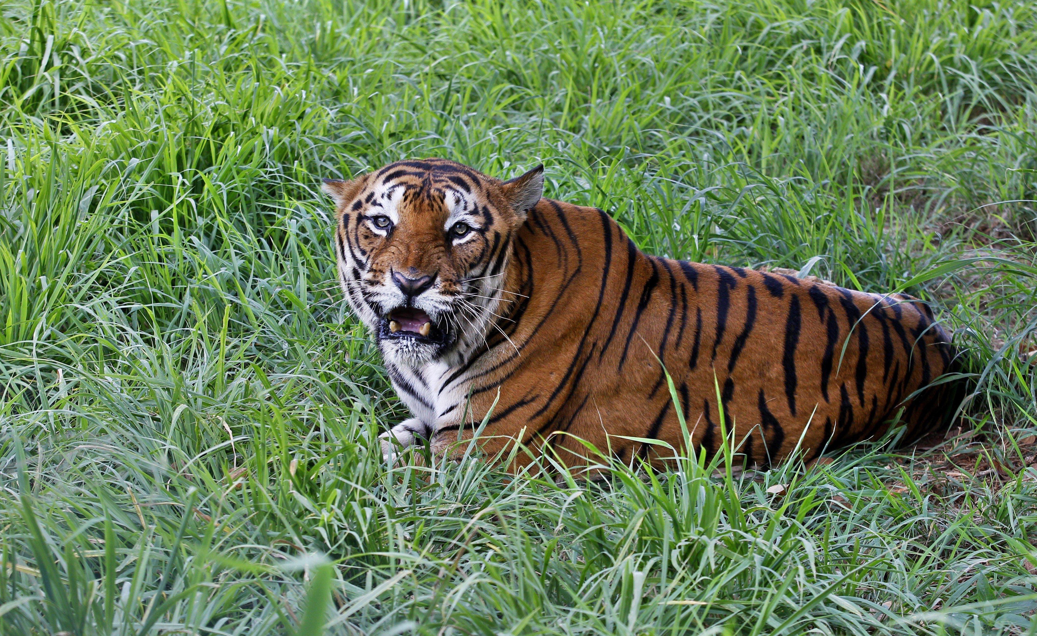 Το τέλος της T-1, της ανθρωποφάγου τίγρης που προσπαθούσαν να την πιάσουν με δόλωμα...ανδρικό