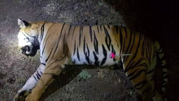 인도에서 13명 목숨을 앗아간 호랑이가