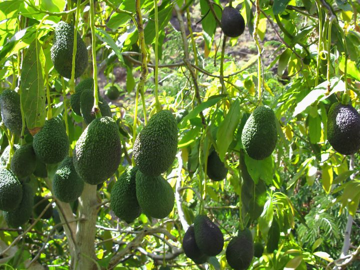 Avocados actually don't ripen while on the tree, even when it's physiologically mature. They only ripen once picked.