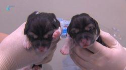 일본 언론이 주목한 한국의 '죽은 개 복제
