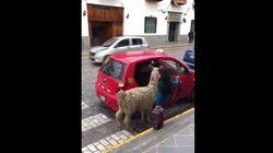 Un lama prend le taxi à Cuzco au