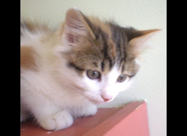 """Bixby is a very sweet 11-week-old female kitten. Visit Bixby at PAWS Chicago, 1997 N. Clybourn Avenue, Chicago. <a href=""""http"""