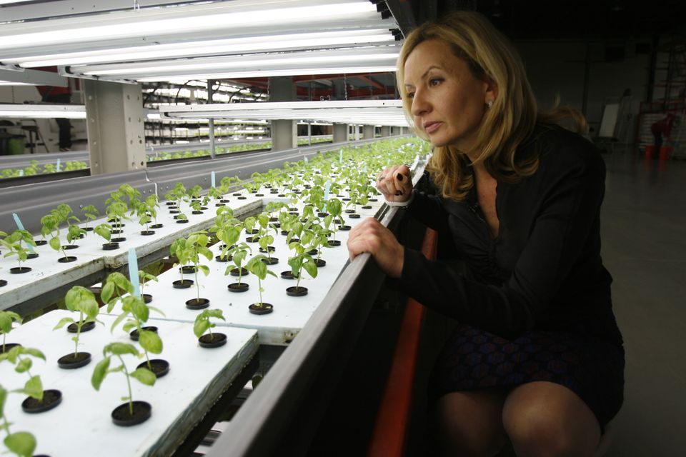 Jolanta Hardej, CEO of FarmedHere LLC, examines a young basil crop at the indoor vertical farm in Bedford Park, Ill., on Wedn