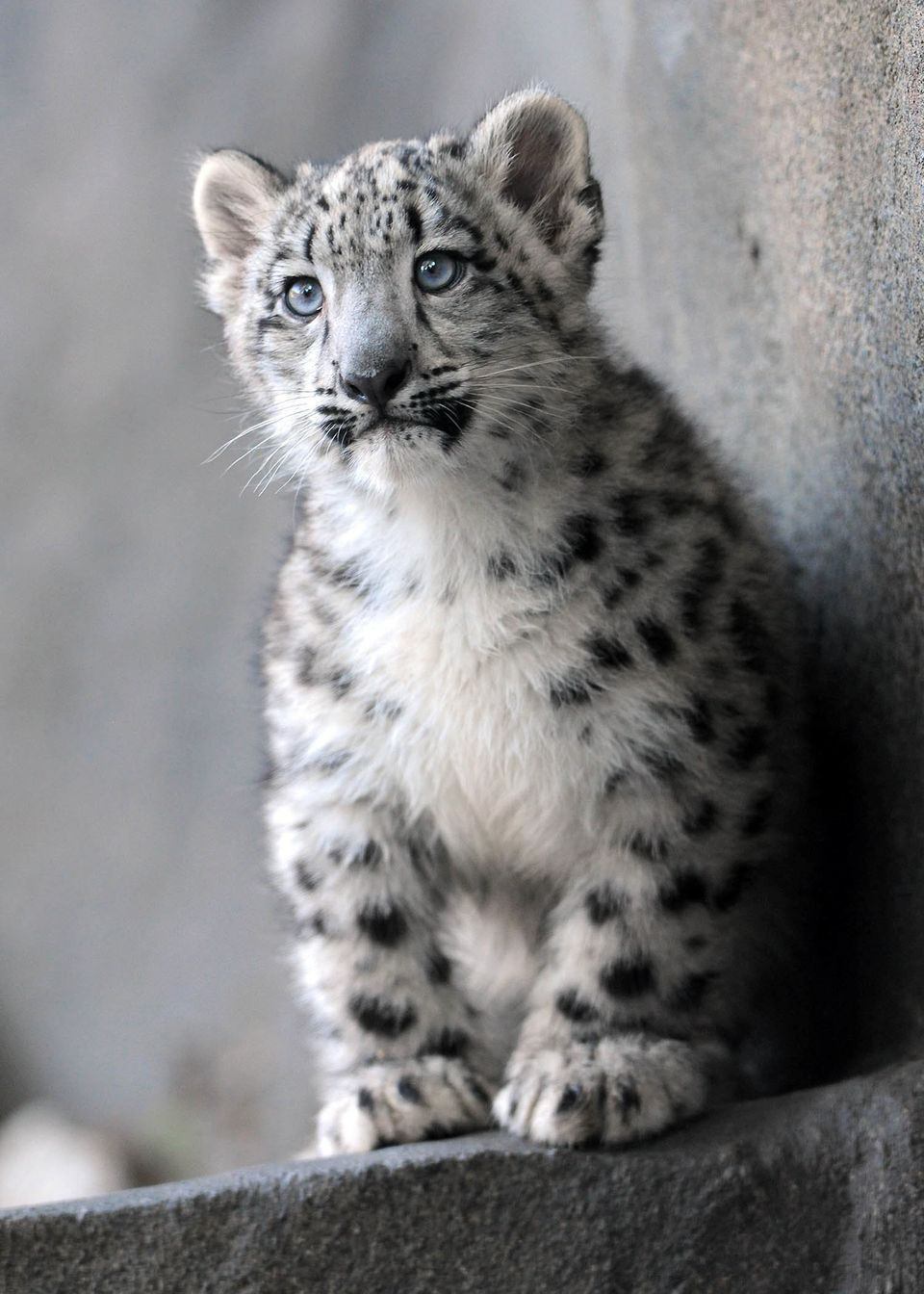 Snow Leopard Cub Can T Stop Jumping On Things During
