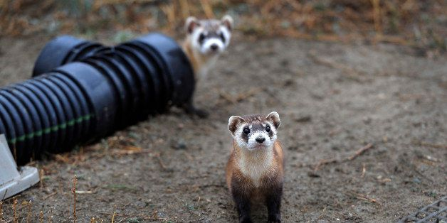 WELLINGTON, CO - Oct. 29: There are 48 outdoor pre-conditioning pens that house some ferrets. Each pen is 40'x40' and the ani