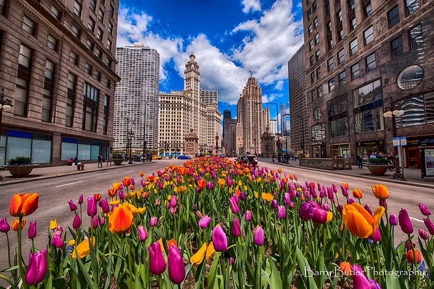 Tulips in the Loop.