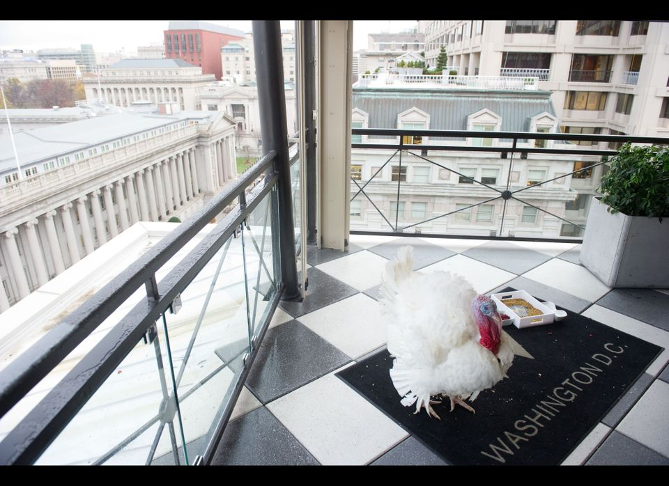 A turkey gets some exercise on a rooftop deck at the W Hotel in D.C., Nov. 23, 2010, one day before being pardoned by Preside