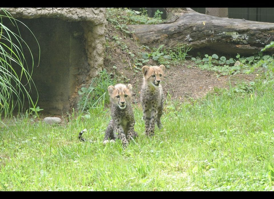 The National Zoo's new cheetah cubs made their public debut on July 24, 2012.