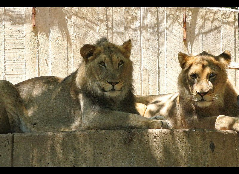 Aslan and Baruti will be moving from the Smithsonian's National Zoo to the Calgary Zoo in the next few weeks.