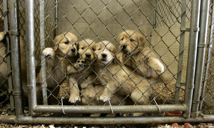 Colorado Dog Breeder Task Force Aims To Crack Down On Puppy