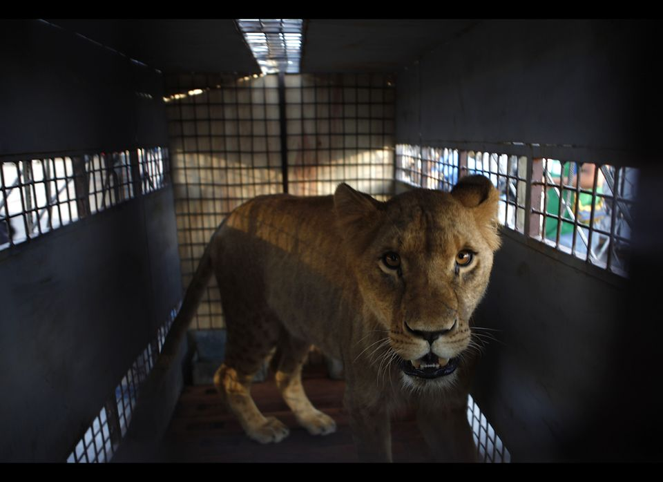 A lioness stands in a cage before being transported by plane to the U.S. at the airport in Santa Cruz de la Sierra, Bolivia,