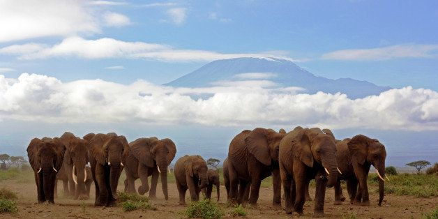 Close up of an approaching herd of elephants with (almost snowless) Kilimanjaro backdrop