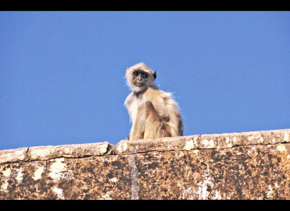 A monkey gets his Humpty Dumpty on in Jaipur, India.