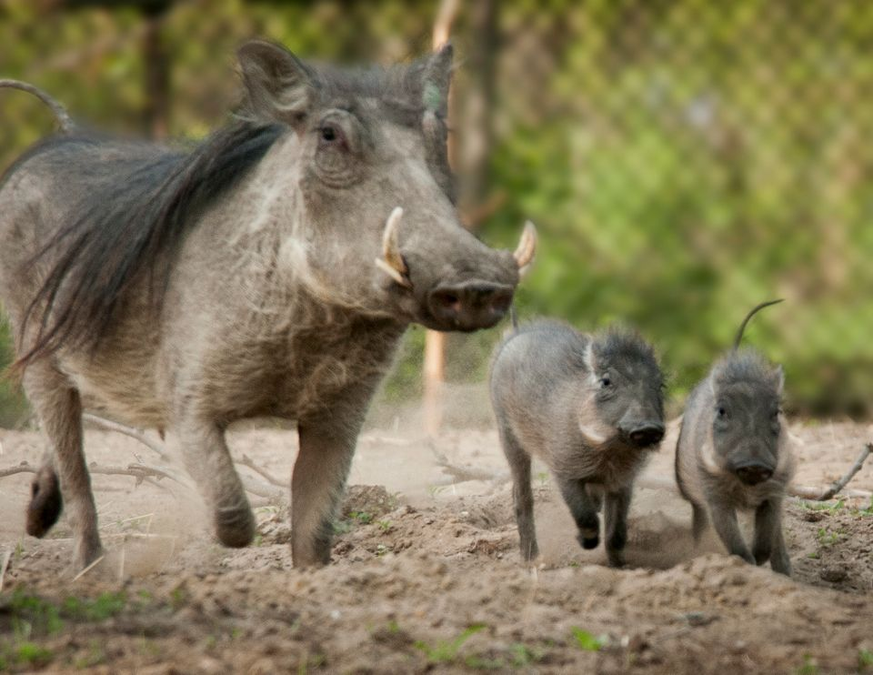 Warthog piglets Daphne and Violet were born to parents Lilith and Linus on April 7, 2013 at the Detroit Zoo.