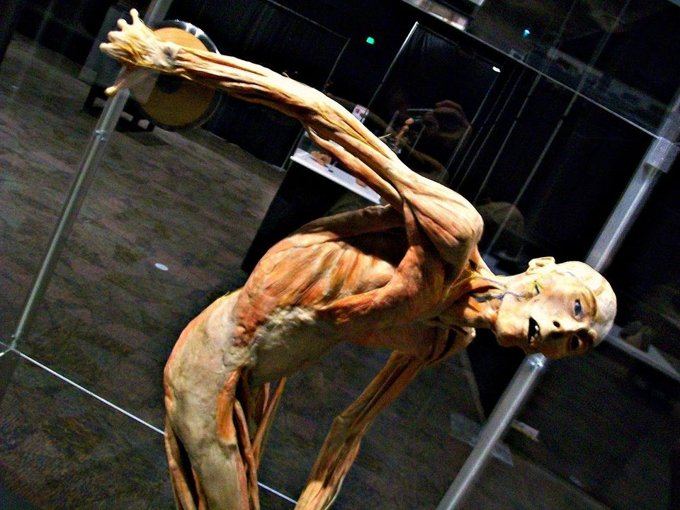"""A specimen poses with a discus in the Michigan Science Center's """"Bodies Human"""" exhibit."""