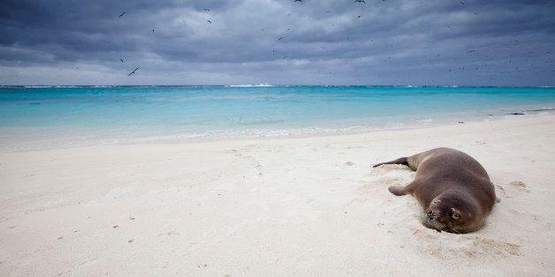 Hawaiian Monk Seal (Monachus schauinslandi), Sand Island, Midway Atoll, US Overseas Territory
