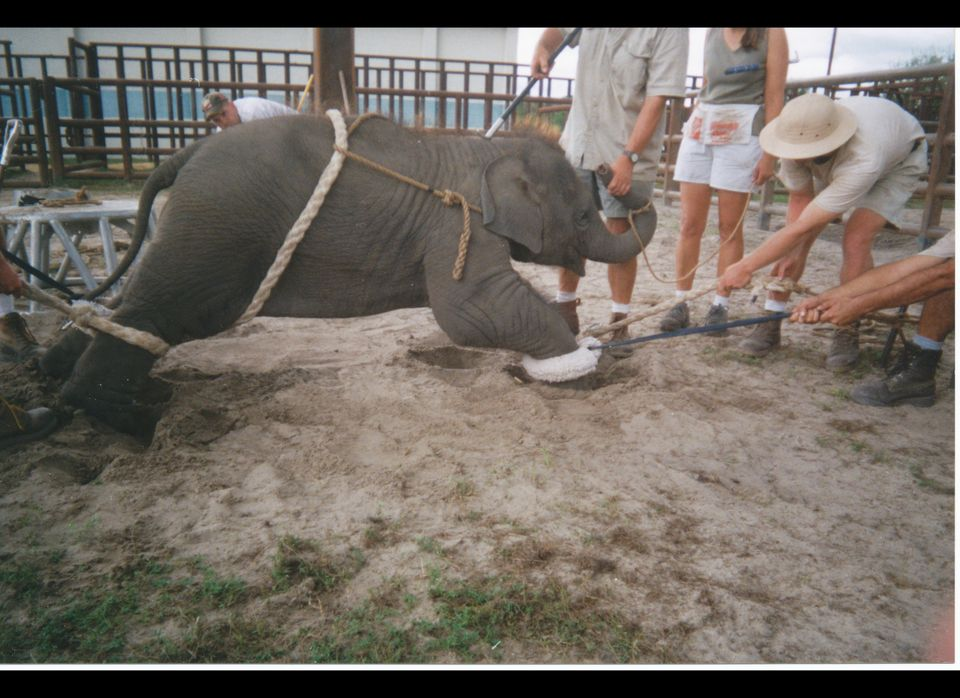 Photograph shows Ringling Bros. personnel handling an elephant at a training compound in Polk County, Fla., according to the