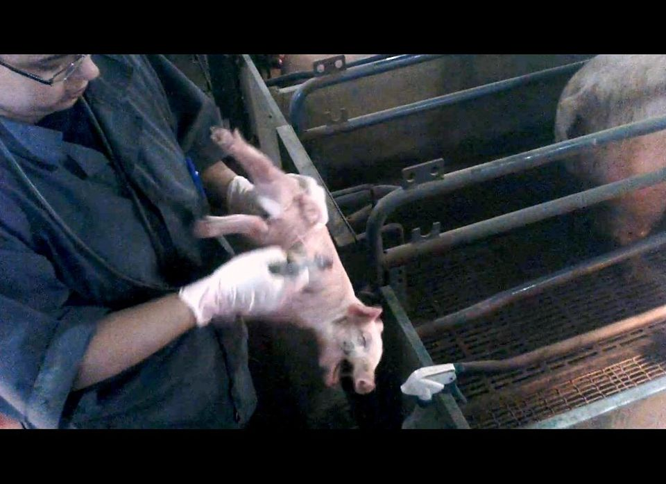 Video stills from Mercy for Animals' undercover investigation at a Christensen Farms pig-breeding facility in Hanska, Minneso