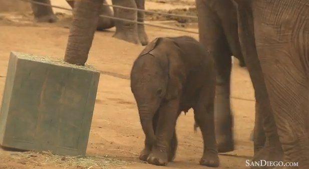 Elephant Calf Born In San Diego Zoo Safari Park Learns To