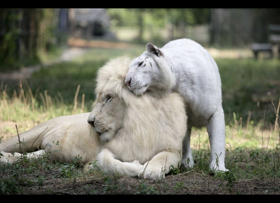 Lord Ivory the white lion and one of Jungle Island's two new snow tigers snuggle.