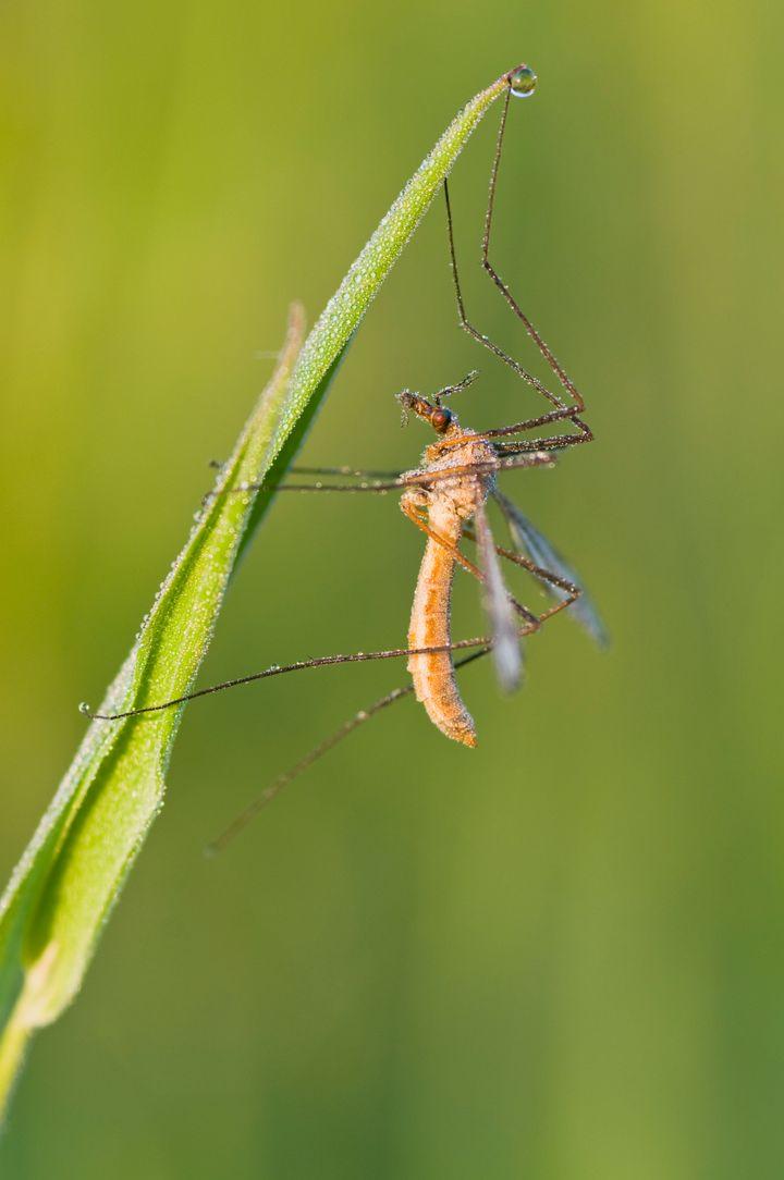 Crane fly (Tipula sp.)