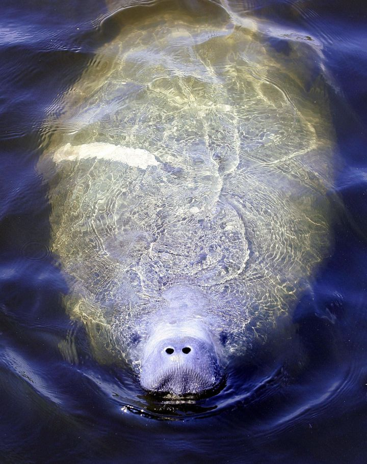 MIAMI, UNITED STATES:  A Manatee surfaces for air 16 April 2005 in a canal in Miami, Florida. The slow swimming Manatees are