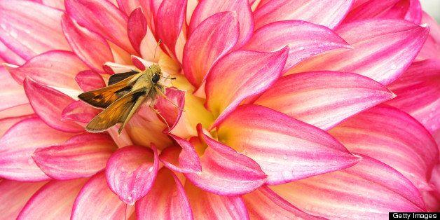 Skipper butterfly on dahlia