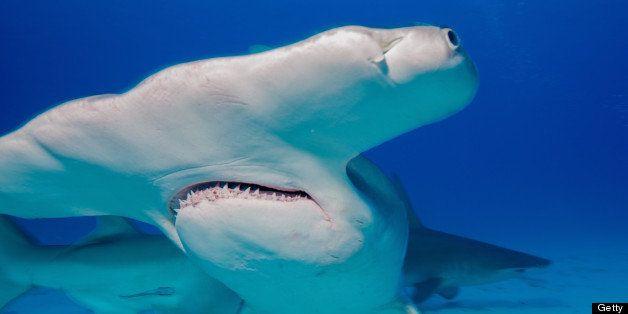 Great Hammerhead sharks (Sphyrna mokarran) are found in shallow water near the coast of Bimini, Bahamas.
