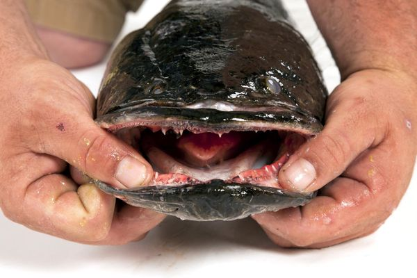 Described as vicious predators that could eat every fish in a pond, snakeheads, native to Asia, are now established in Florid