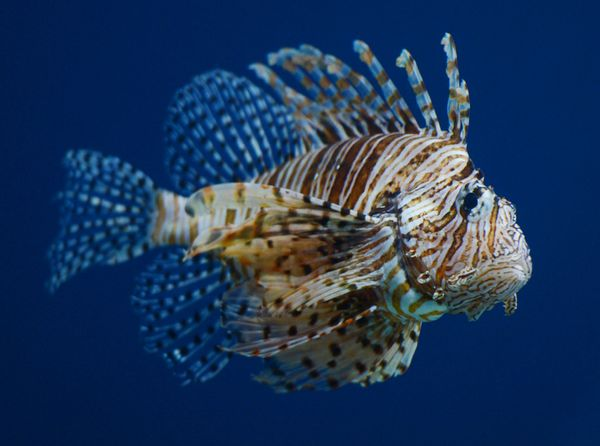 "A booming population of invasive, <a href=""https://www.huffpost.com/entry/lionfish-florida_n_3519596"" target=""_blank"">venomou"