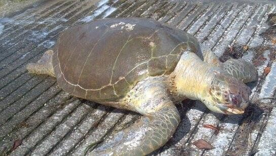 """Found this green sea turtle in the channel just north of the Sailing Center boat ramp. It was floating high in the water and"