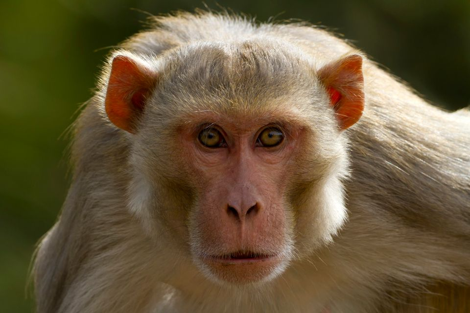 Floridians have more to fear than just a bite from the localized population of Rhesus monkeys that hang out around Silver Spr