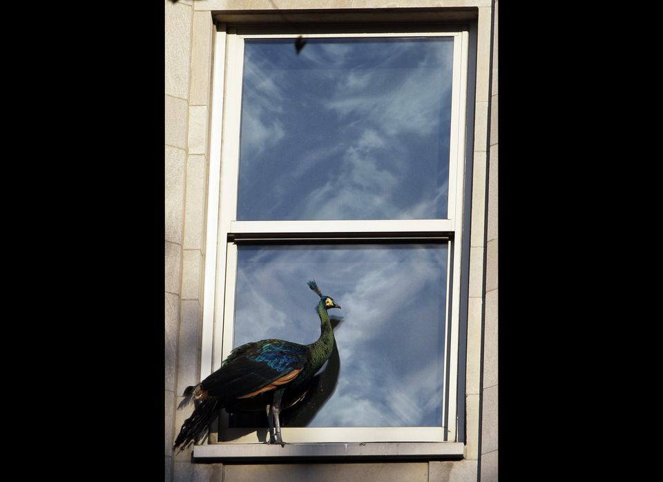 "A <a href=""https://www.huffpost.com/entry/peacock-escapes-from-cent_n_916569"" target=""_hplink"">peacock with residence</a> at"