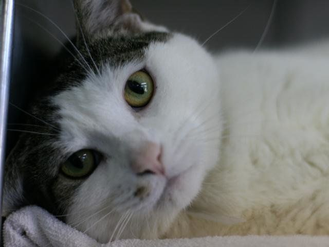 "Vicky, a volunteer writes, is ""a big soft bunny of a cat"" and a ""lovemonger."" This adorable three-year-old was surrendered by"
