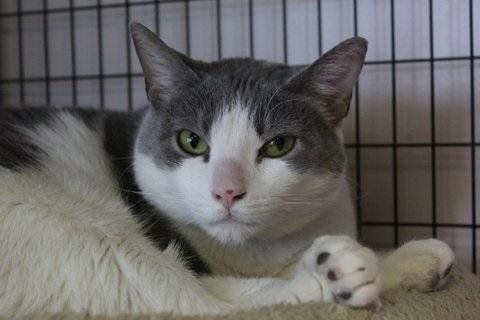 Handsome hunk Hank, not yet two years old, was surrendered by his previous owner at the end of March. Meet this cutie at Anim