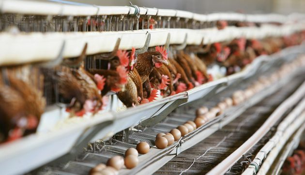 Hens in battery cages in Italy in