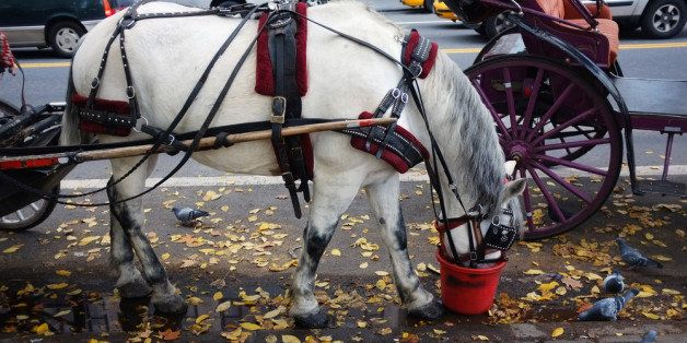 NEW YORK, NY - NOVEMBER 14:  A carriage horse is fed a bucket of oats beside Central Park on November 14, 2011 in New York Ci
