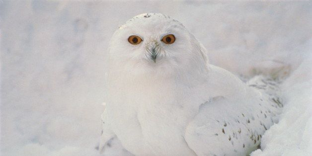 2 Snowy Owls Shot At Airport, As Birds Deemed Danger To Planes