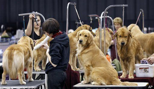 No Respect for Golden Retrievers at the Westminster Dog Show