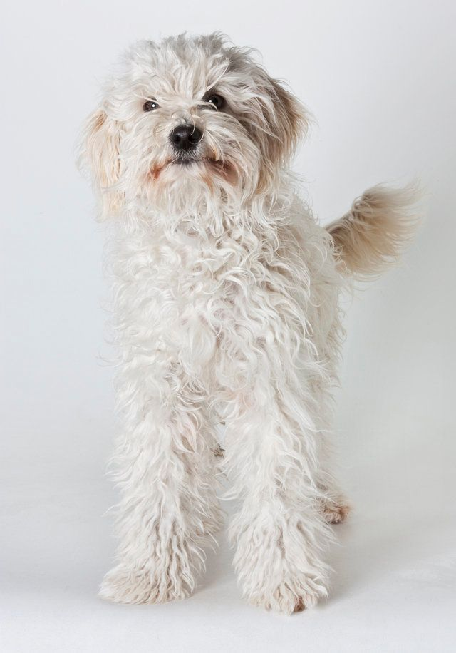 "Ariel is a 1-year-old, female miniature poodle mix. Learn more <a href=""www.SPCAmc.org."">here</a>."