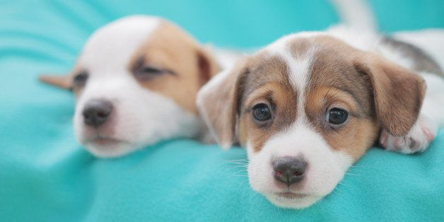 Jack Russell Terrier pets