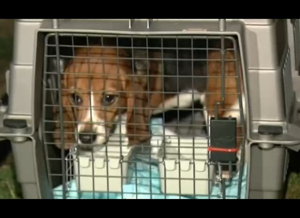 In November, the Beagle Freedom Project brought 40 male beagles to Los Angeles from a lab in Spain.  The beagles, all aged