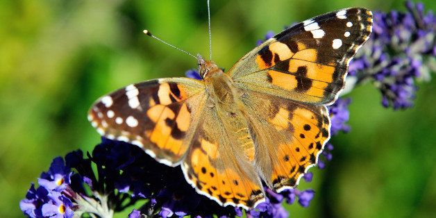 A butterfly searches for food on a buddleia flower, on August 4, 2013 in Godewaersvelde, northern France. Populations of gras