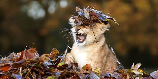 Karis, an eleven week old lion cub, plays in fallen leaves brushed up by keepers in her enclosure at Blair Drummond Safari Pa