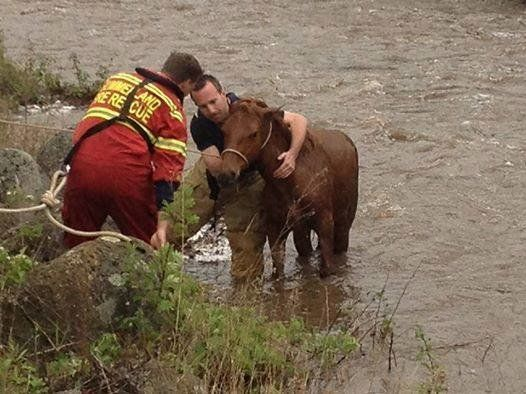 An exhausted wild horse was rescued from the raging waters of Trout Creek in Summerland, B.C. on May 3, 2014.