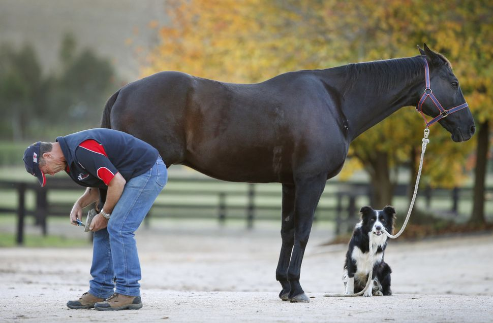 Border collie Hekan holds stunt horse Drummer for owner Steve Jefferys as he checks his hooves.