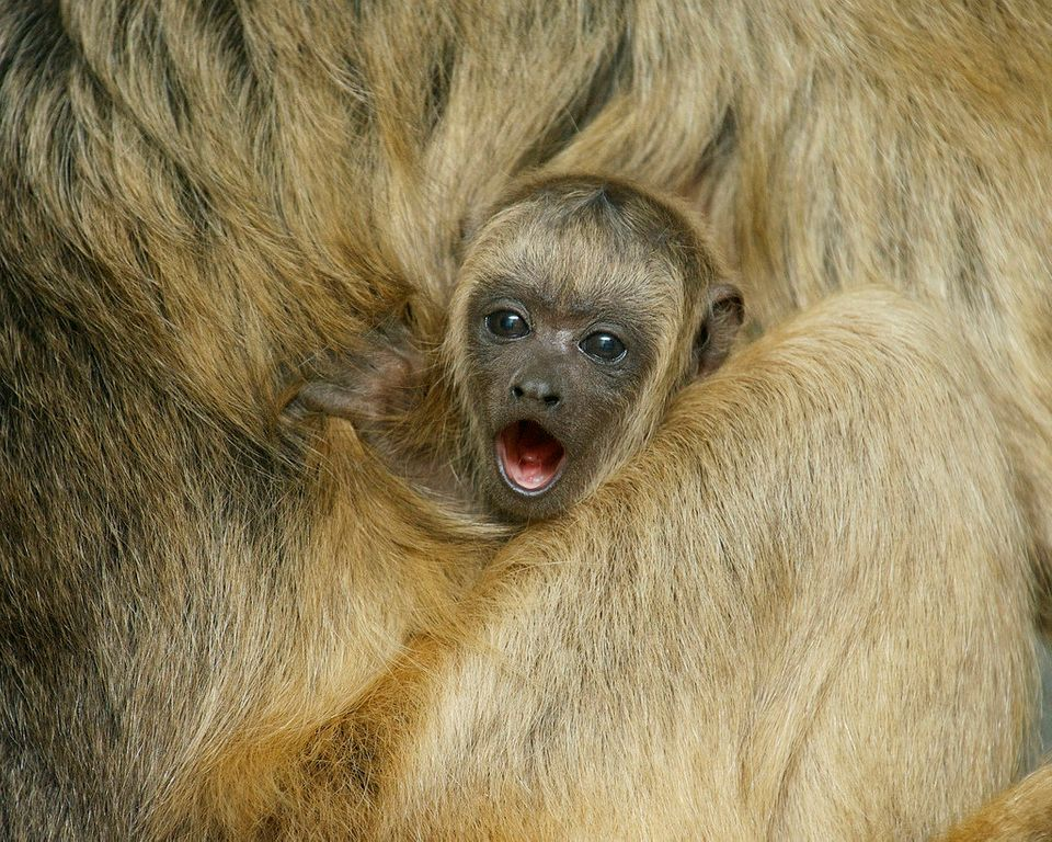 Born on Dec. 15, our howler monkey baby is almost 5 months old and is already very inquisitive and curious about his surround