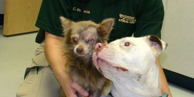 This Pit Bull Carried Her Injured Chihuahua 'Soul Mate' To Safety, Now They Need A Loving Home (UPDATE)